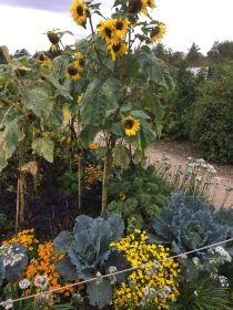 cabbages and sunflowers Airfield